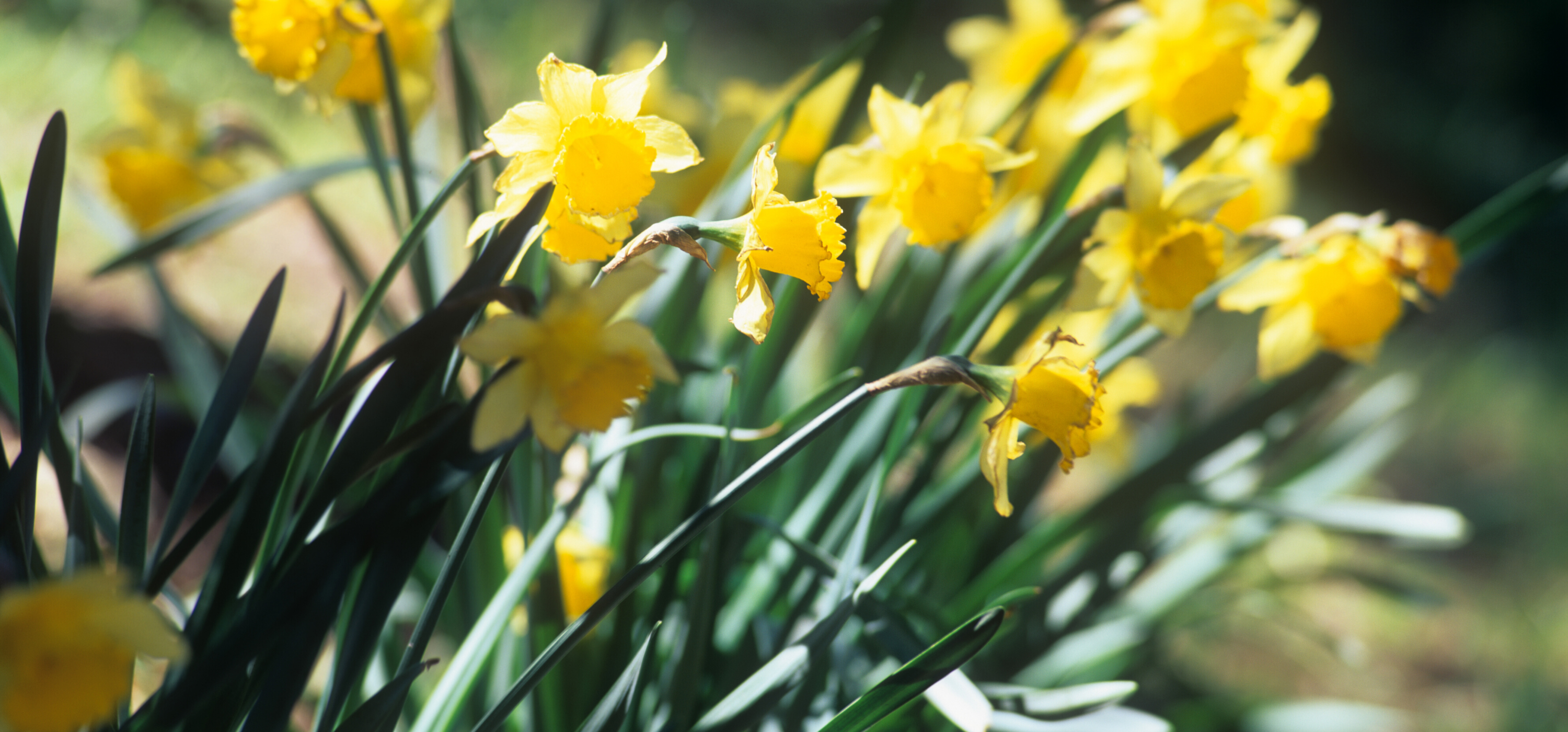 Julian daffodils photo