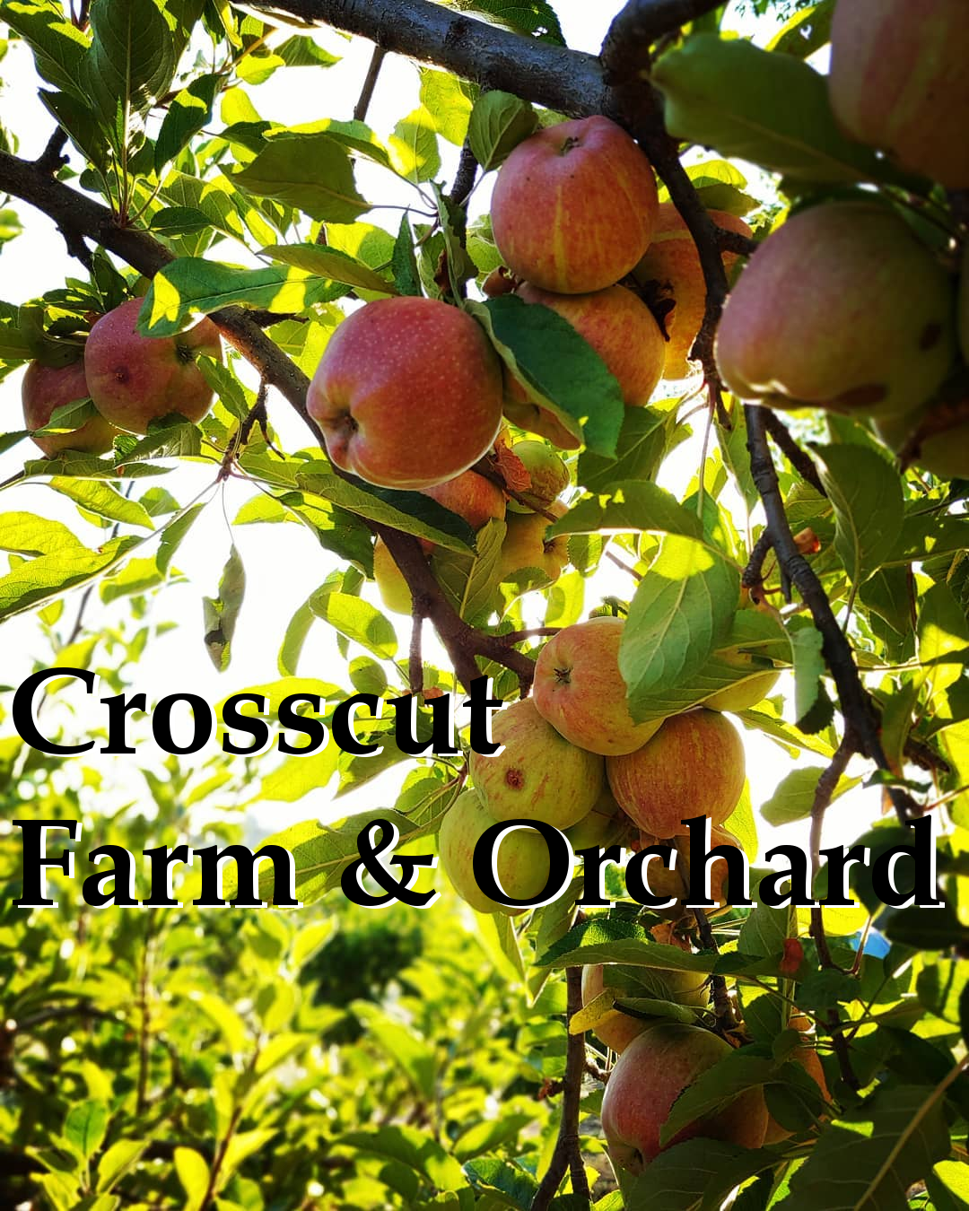 Crosscut Farm and Orchard Julian California Red Apples Photo