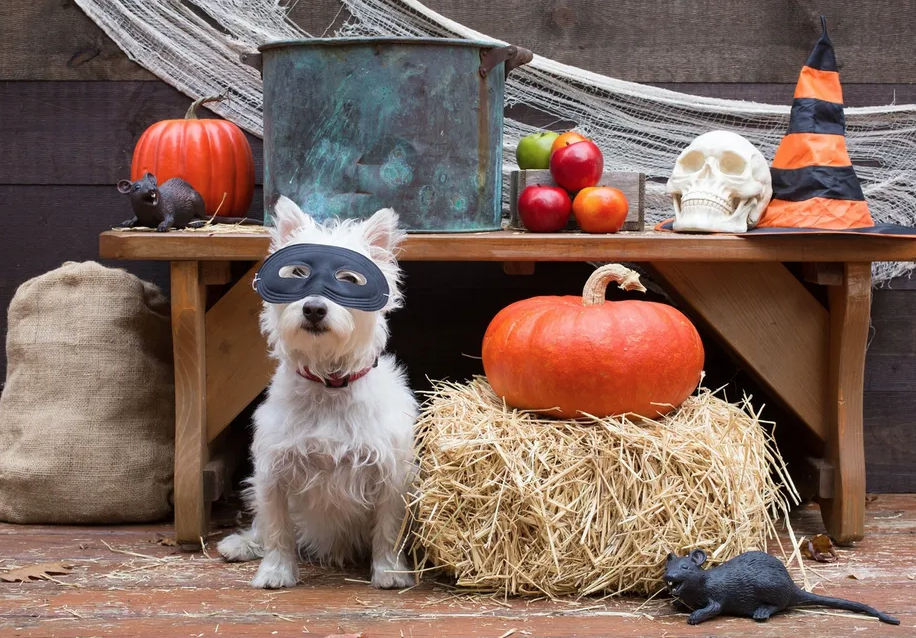 Halloween photo dog with mask on pumpkins, haystack, apples witches hat, mice