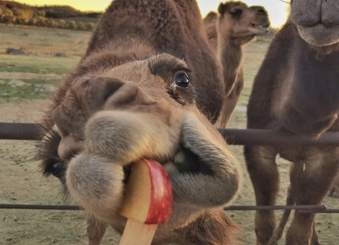 camel eating a slice of apple photo